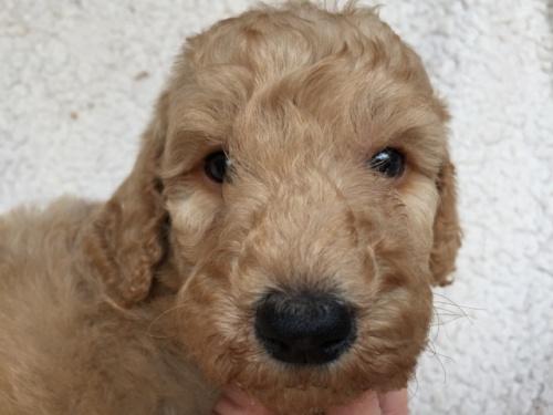 スタンダードプードルの子犬(ID:1267911009)の1枚目の写真/更新日:2017-06-05