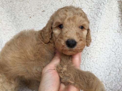 スタンダードプードルの子犬(ID:1267911009)の2枚目の写真/更新日:2017-06-05