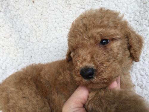 スタンダードプードルの子犬(ID:1267911010)の2枚目の写真/更新日:2017-06-05