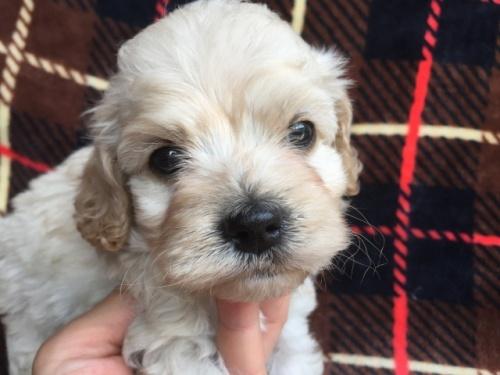 ミックスの子犬(ID:1267911014)の1枚目の写真/更新日:2017-08-29
