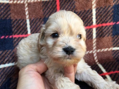 ミックスの子犬(ID:1267911025)の2枚目の写真/更新日:2018-01-08