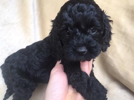 ミックスの子犬(ID:1267911029)の2枚目の写真/更新日:2018-01-29
