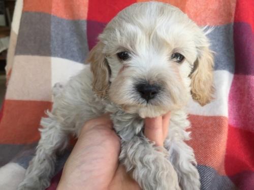 ミックスの子犬(ID:1267911029)の3枚目の写真/更新日:2018-01-29