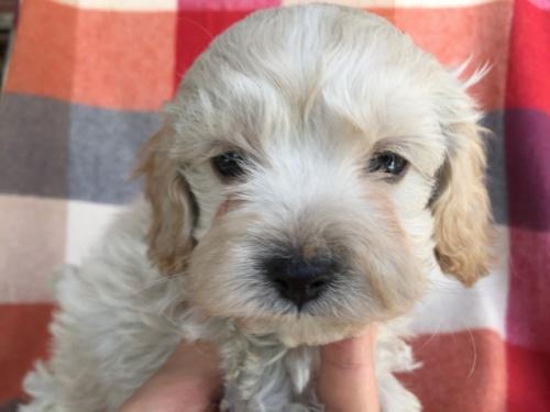 ミックスの子犬(ID:1267911029)の4枚目の写真/更新日:2018-01-29