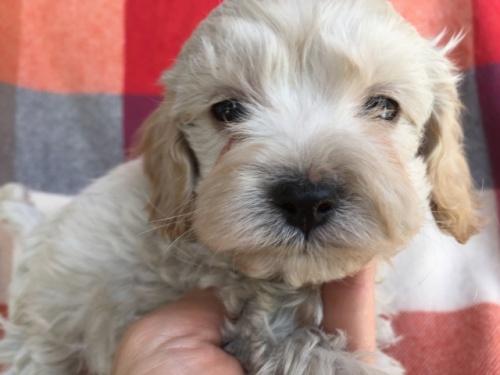 ミックスの子犬(ID:1267911029)の5枚目の写真/更新日:2018-01-29