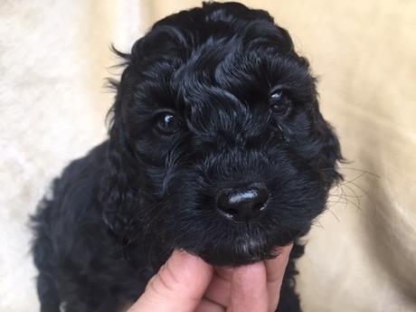 ミックスの子犬(ID:1267911030)の2枚目の写真/更新日:2018-01-29