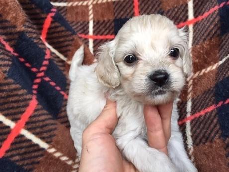 ミックスの子犬(ID:1267911037)の2枚目の写真/更新日:2018-03-14
