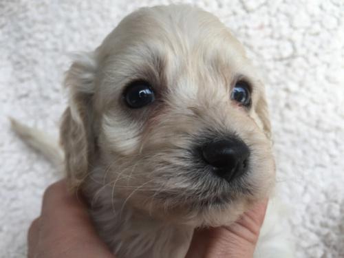 ミックスの子犬(ID:1267911038)の1枚目の写真/更新日:2018-03-14