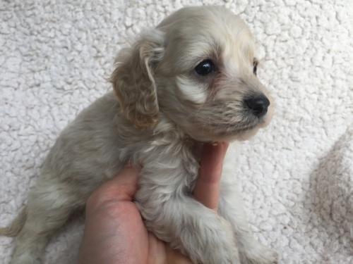 ミックスの子犬(ID:1267911038)の2枚目の写真/更新日:2018-03-14