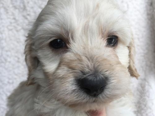 ミックスの子犬(ID:1267911039)の1枚目の写真/更新日:2018-03-14