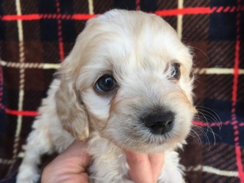 ミックスの子犬(ID:1267911040)の1枚目の写真/更新日:2018-04-10