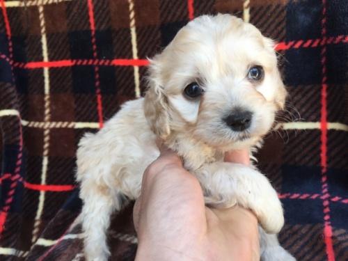 ミックスの子犬(ID:1267911040)の2枚目の写真/更新日:2018-04-10