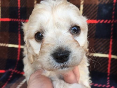 ミックスの子犬(ID:1267911040)の4枚目の写真/更新日:2018-04-10