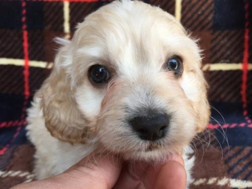 ミックスの子犬(ID:1267911041)の1枚目の写真/更新日:2018-04-10