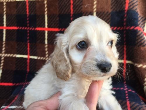 ミックスの子犬(ID:1267911041)の4枚目の写真/更新日:2018-04-10