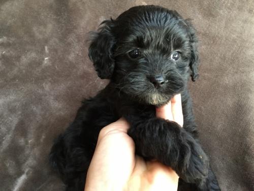 ミックスの子犬(ID:1267911042)の2枚目の写真/更新日:2018-04-13