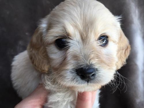 ミックスの子犬(ID:1267911044)の1枚目の写真/更新日:2018-04-13