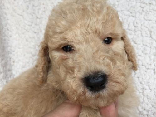 スタンダードプードルの子犬(ID:1267911046)の1枚目の写真/更新日:2018-06-25