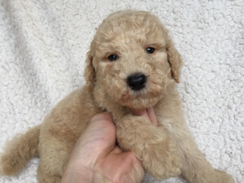スタンダードプードルの子犬(ID:1267911046)の2枚目の写真/更新日:2018-06-25