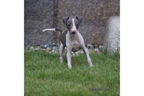イタリアングレーハウンドの子犬(ID:1268011003)の2枚目の写真/更新日:2017-04-10