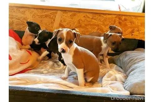 イタリアングレーハウンドの子犬(ID:1268011004)の1枚目の写真/更新日:2020-06-16