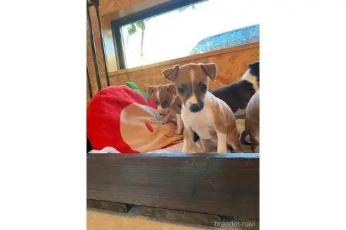 イタリアングレーハウンドの子犬(ID:1268011004)の2枚目の写真/更新日:2020-06-16