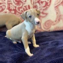 イタリアングレーハウンドの子犬(ID:1268011005)の1枚目の写真/更新日:2020-06-16