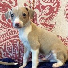 イタリアングレーハウンドの子犬(ID:1268011005)の2枚目の写真/更新日:2020-06-16