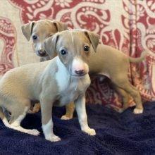 イタリアングレーハウンドの子犬(ID:1268011005)の3枚目の写真/更新日:2020-06-16