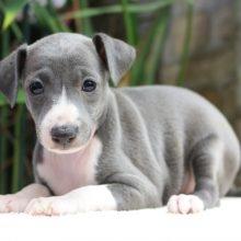 イタリアングレーハウンドの子犬(ID:1268011006)の1枚目の写真/更新日:2019-06-06