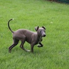 イタリアングレーハウンドの子犬(ID:1268011007)の2枚目の写真/更新日:2019-09-24