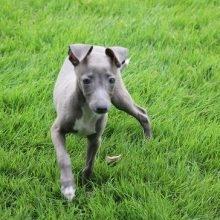 イタリアングレーハウンドの子犬(ID:1268011007)の3枚目の写真/更新日:2019-09-24