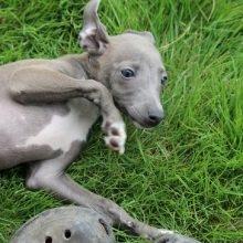イタリアングレーハウンドの子犬(ID:1268011007)の4枚目の写真/更新日:2019-09-24