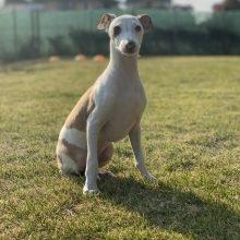 イタリアングレーハウンドの子犬(ID:1268011008)の1枚目の写真/更新日:2019-09-24