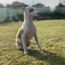 イタリアングレーハウンドの子犬(ID:1268011008)の2枚目の写真/更新日:2019-09-24