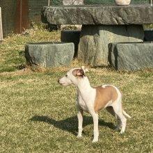 イタリアングレーハウンドの子犬(ID:1268011008)の3枚目の写真/更新日:2019-09-24