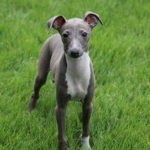 イタリアングレーハウンドの子犬(ID:1268011009)の1枚目の写真/更新日:2017-05-01