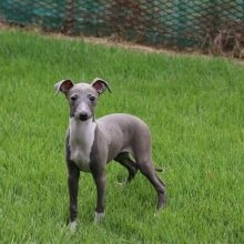 イタリアングレーハウンドの子犬(ID:1268011009)の2枚目の写真/更新日:2017-05-01
