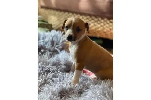 イタリアングレーハウンドの子犬(ID:1268011012)の1枚目の写真/更新日:2020-06-05