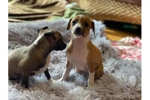イタリアングレーハウンドの子犬(ID:1268011012)の2枚目の写真/更新日:2017-06-09