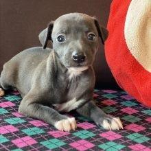 イタリアングレーハウンドの子犬(ID:1268011013)の1枚目の写真/更新日:2020-06-05