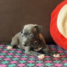 イタリアングレーハウンドの子犬(ID:1268011013)の2枚目の写真/更新日:2017-06-09