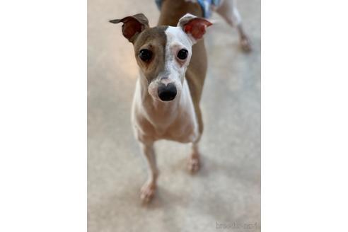 イタリアングレーハウンドの子犬(ID:1268011015)の1枚目の写真/更新日:2017-08-15