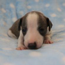 イタリアングレーハウンドの子犬(ID:1268011016)の1枚目の写真/更新日:2017-08-15