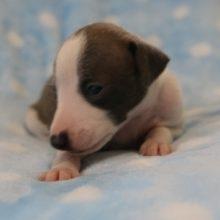 イタリアングレーハウンドの子犬(ID:1268011016)の2枚目の写真/更新日:2017-08-15