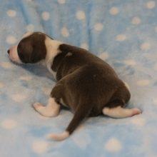 イタリアングレーハウンドの子犬(ID:1268011016)の3枚目の写真/更新日:2017-08-15