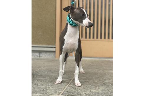 イタリアングレーハウンドの子犬(ID:1268011017)の2枚目の写真/更新日:2021-02-20