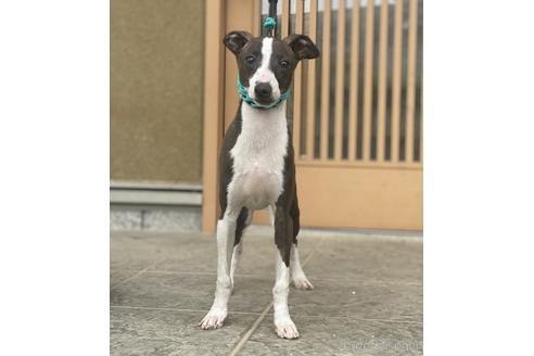 イタリアングレーハウンドの子犬(ID:1268011017)の3枚目の写真/更新日:2017-08-15