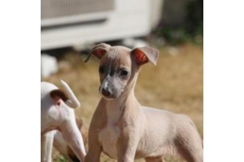イタリアングレーハウンドの子犬(ID:1268011018)の2枚目の写真/更新日:2017-08-15