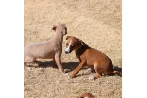 イタリアングレーハウンドの子犬(ID:1268011018)の3枚目の写真/更新日:2017-08-15